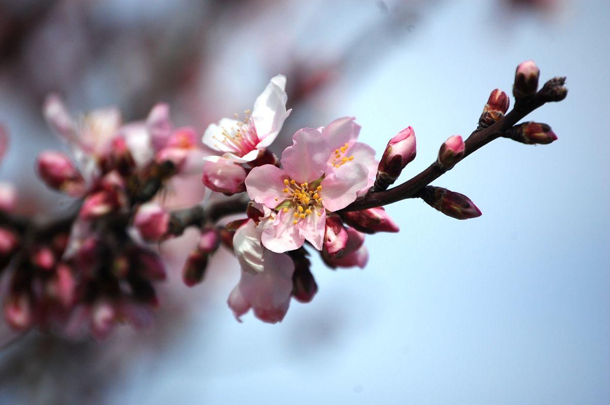 Detall flor ametlla