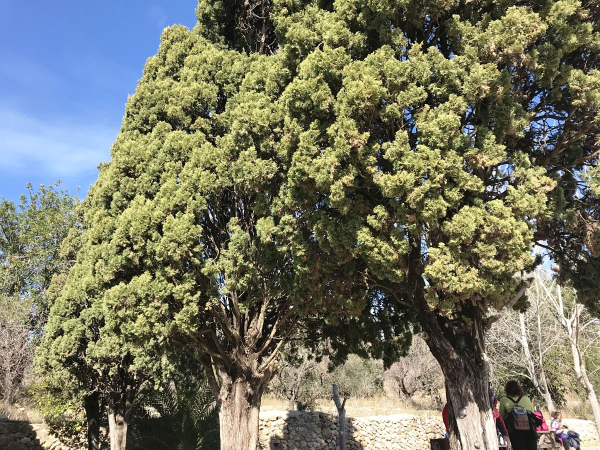 Ciprés (Cupressus sempervirens) en la  ermita de sant Joan, Alcalalí © M.J. Aguilar