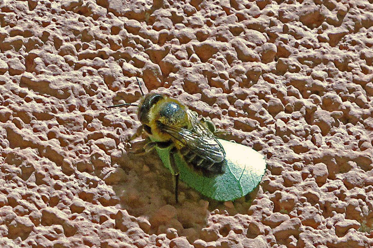 abeja cortadora