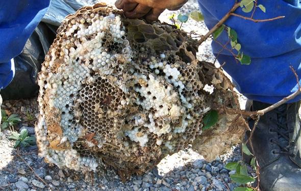 apicultura Vespa velutina larvas