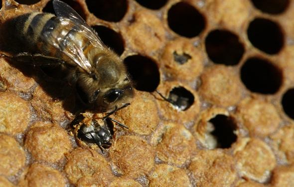 apicultura apis mellifera