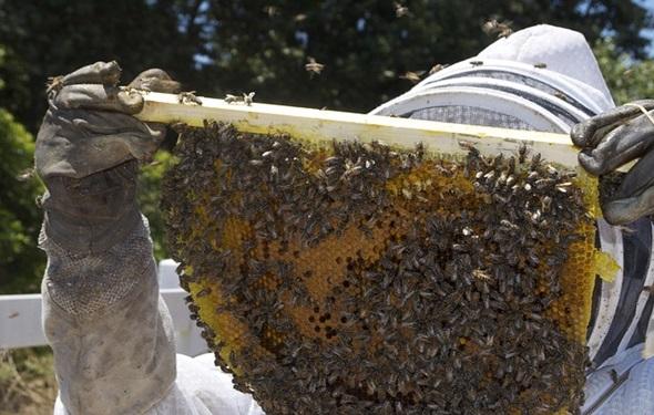 apicultura cria abejas