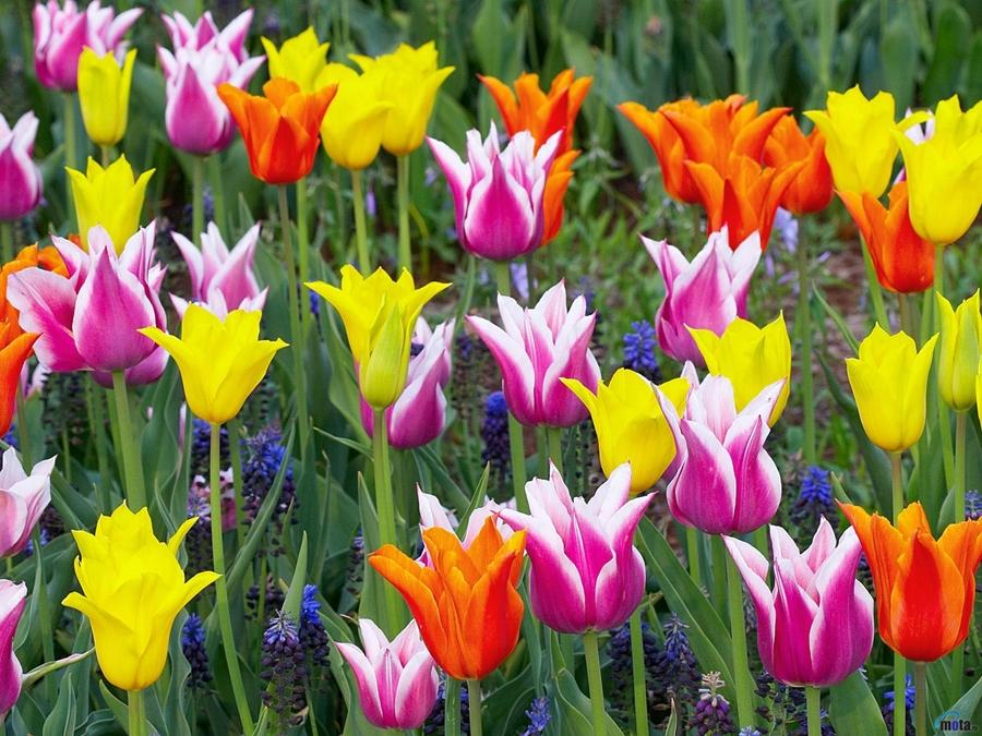 tulipa_1