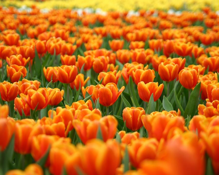 tulipa_taronja