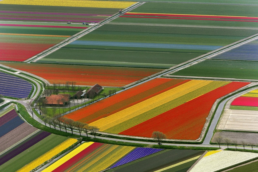 tulipan_campos