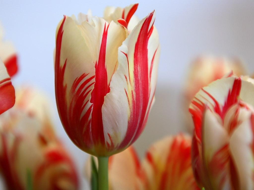 tulipan_rembrandt