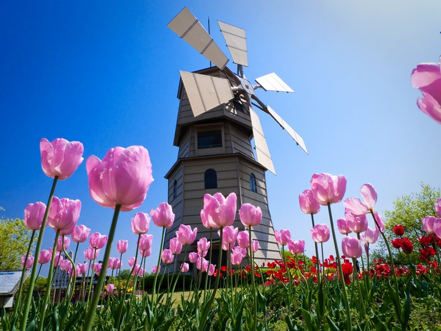 tulipanes_molino