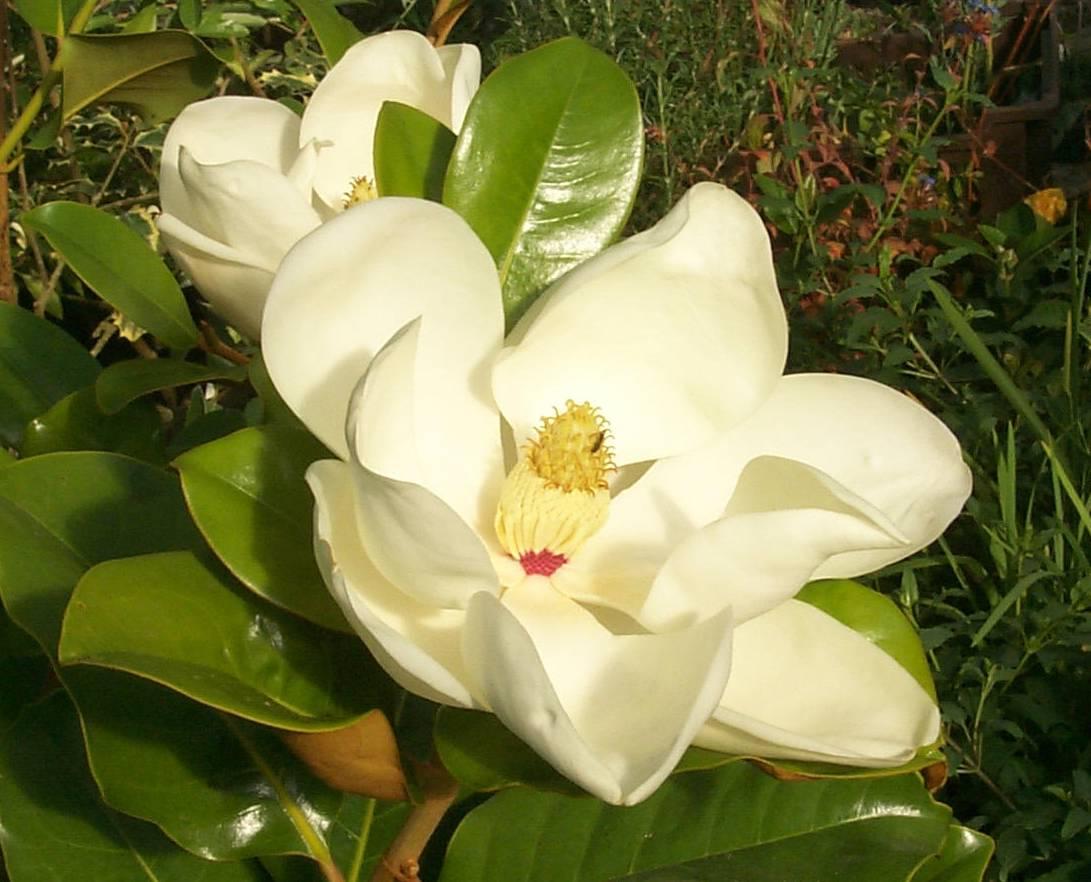 el_perfume_magnolia