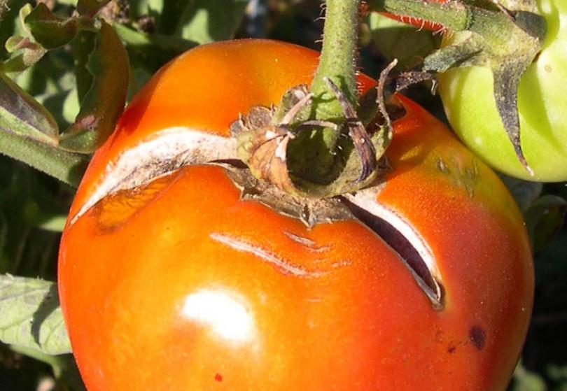 tomate-agrietado-810x559