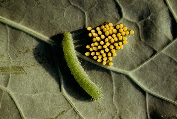 Large White caterpillar and eggs