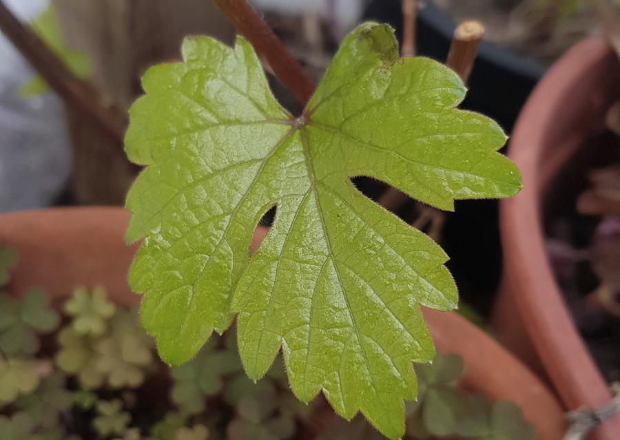 Vitis vinifera sylvestris