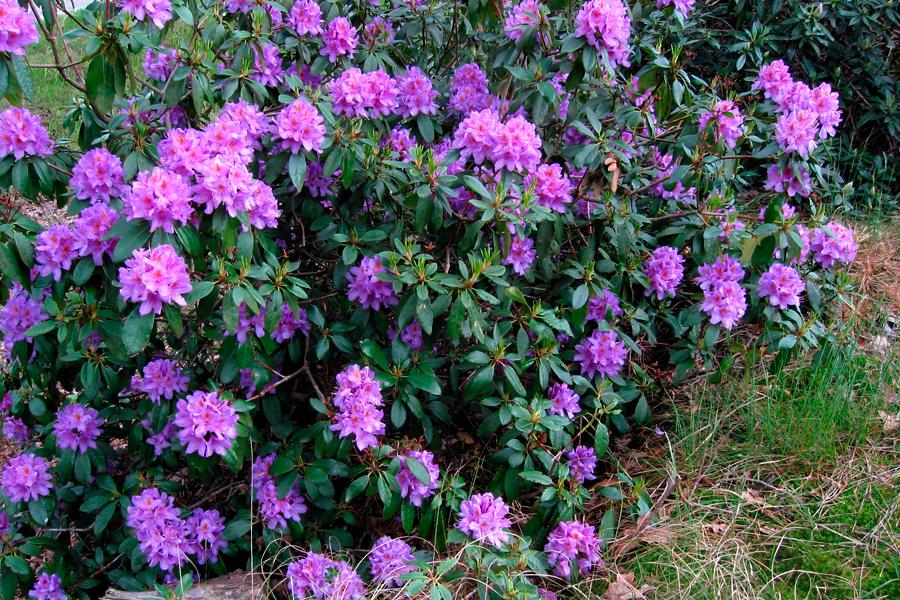 Pontische rododendron wikimedia