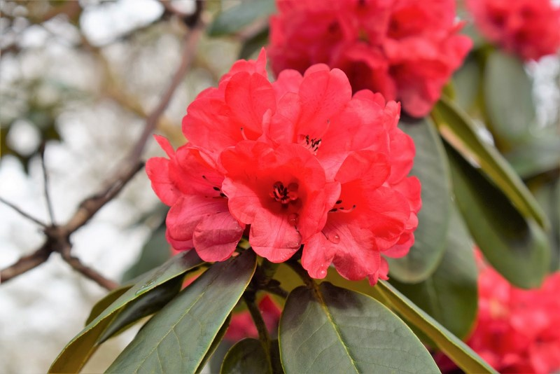 Rhododendron Shilsonii 800px