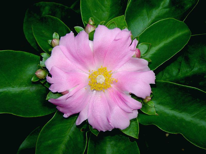 Pereskia grandifolia 04764
