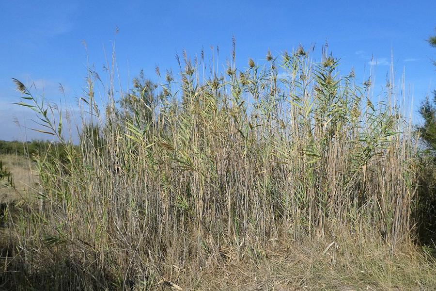 Phragmites chrysantha pedrol