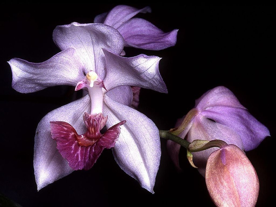 3 Aganisia cyanea Orchi