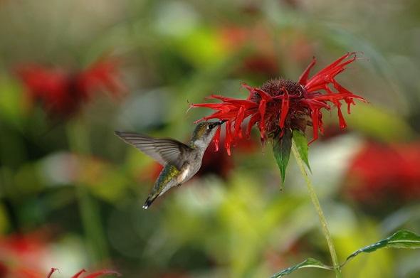8.colibri