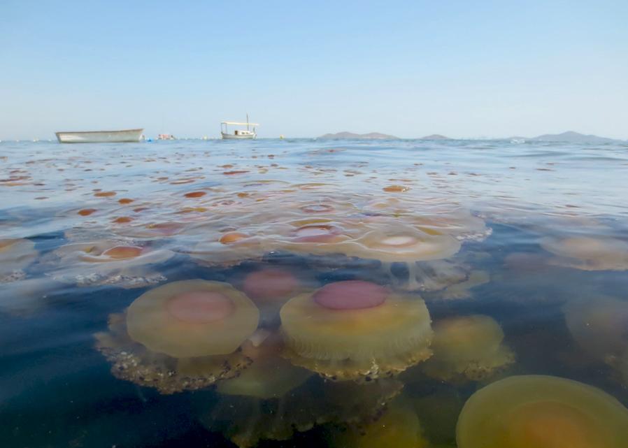 medusas mar menor