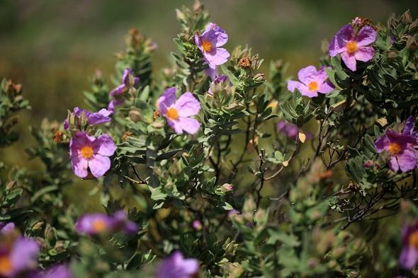 3.Estepa Cistus sp.
