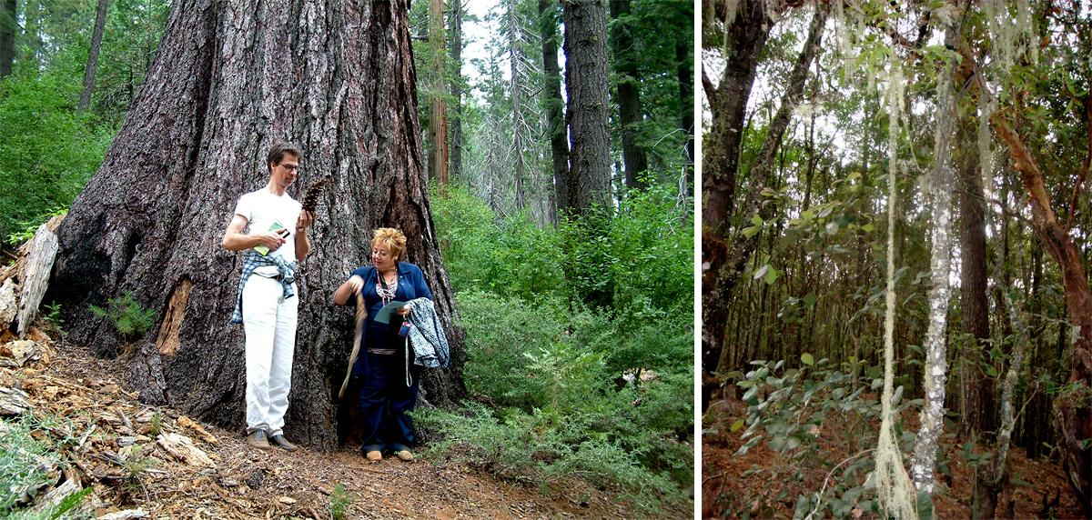 6 sequoia