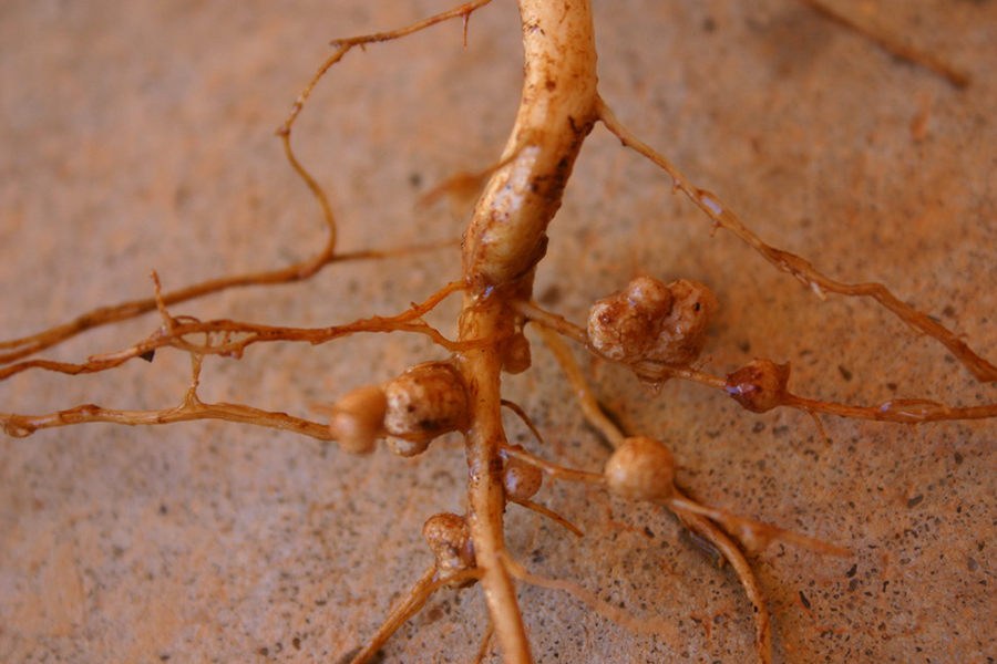 5 Rhizobia nodules on Vigna unguiculata