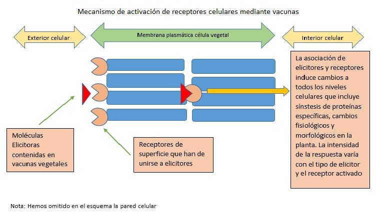 1 ESQUEMA MECANISMO DE ACTIVACION DE RECEPTORES CELULARES