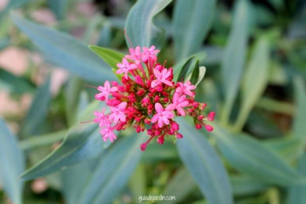 flores centranthus