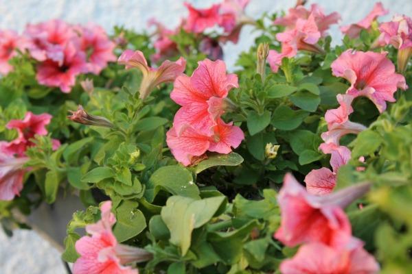 flores petunia
