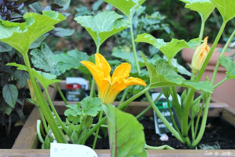 flor calabacin