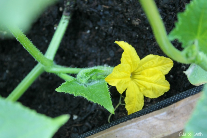 flor pepino