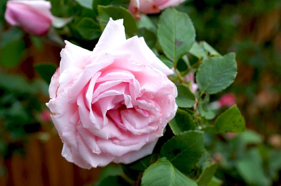 rosa france