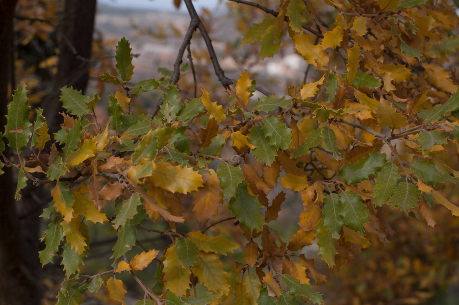 Quercus faginea1 900