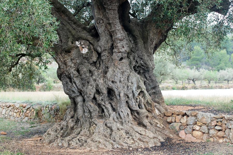 olivo morruda