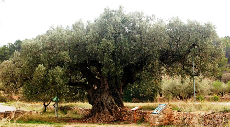 olivo morruda1