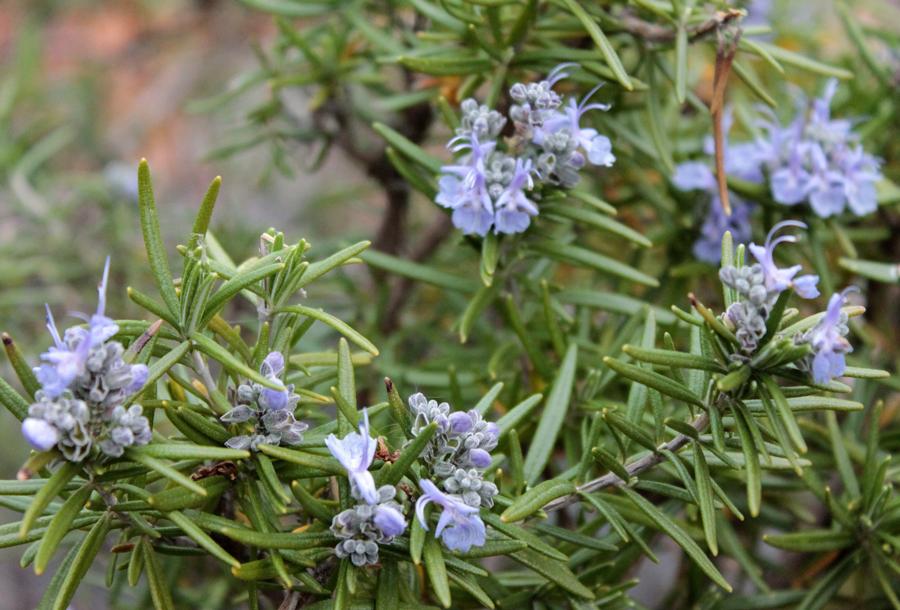 1 Rosmarinus officinalis castagna