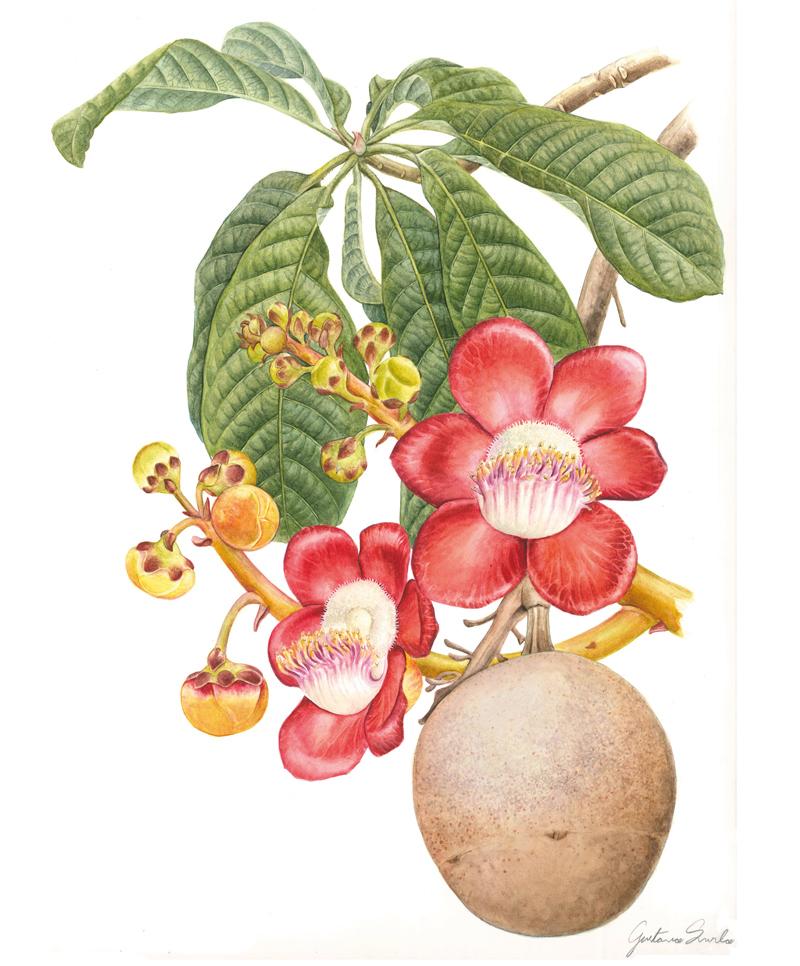 Couroupita guianensis Gustavo Surlo