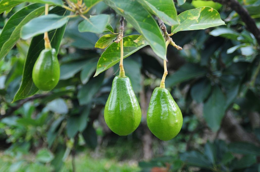 arbre amb fruit
