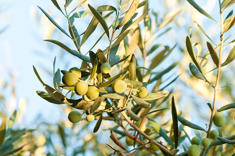 olivo fruto hoja