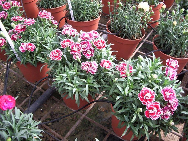 Dianthus caryophyllus Colori Joy
