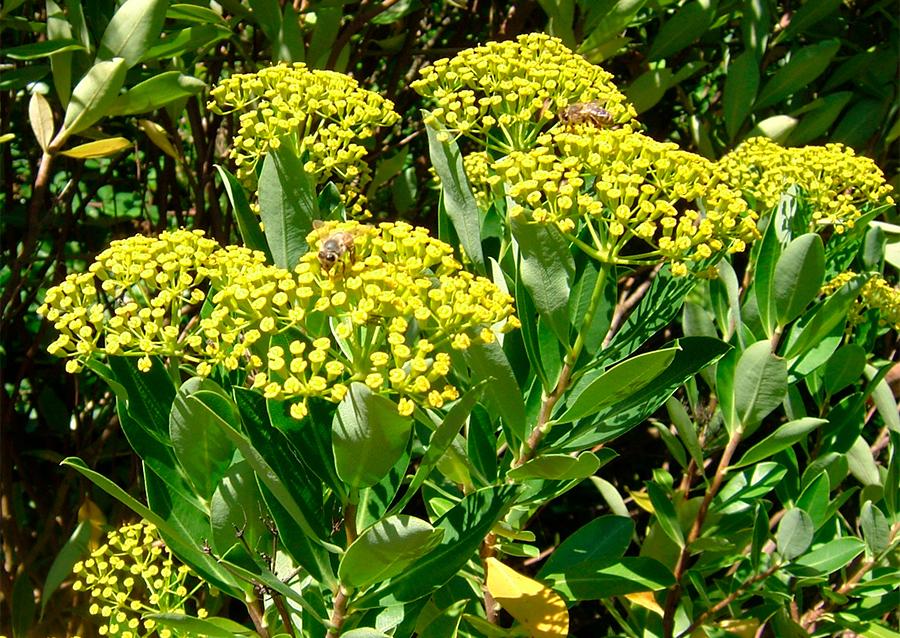 Bupleurum abella wikimedia