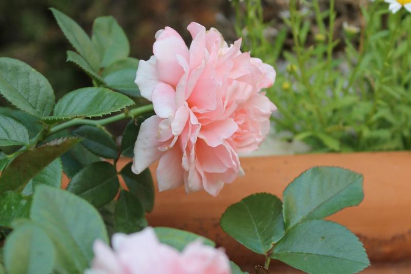 rosal boticcelli