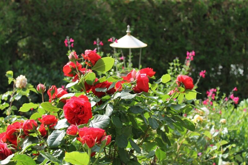 rosas salvia