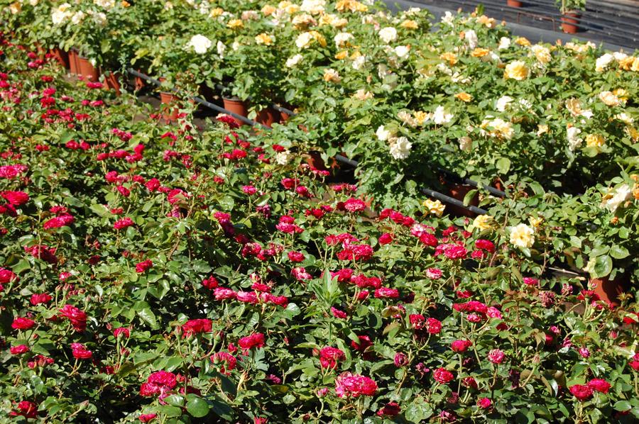 roses hivernacle