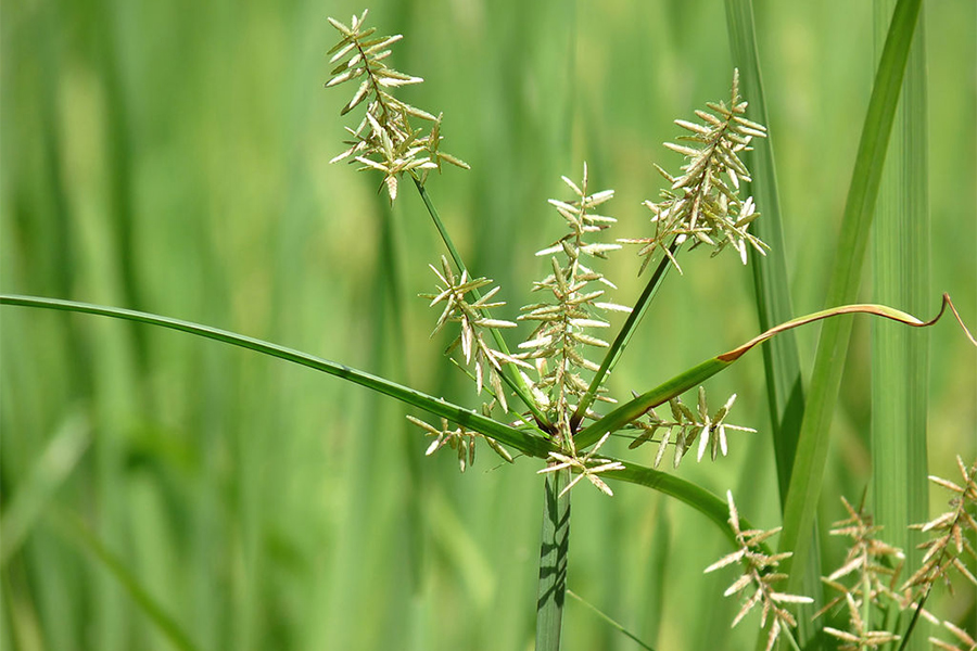 Cyperus rotundus in Kadavoor