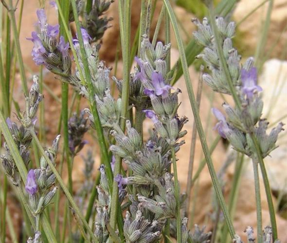 1 latifolia mateo