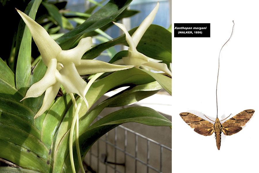 3 orquidia darwin xanthopan