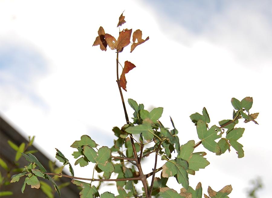acer monspessulanum botanic