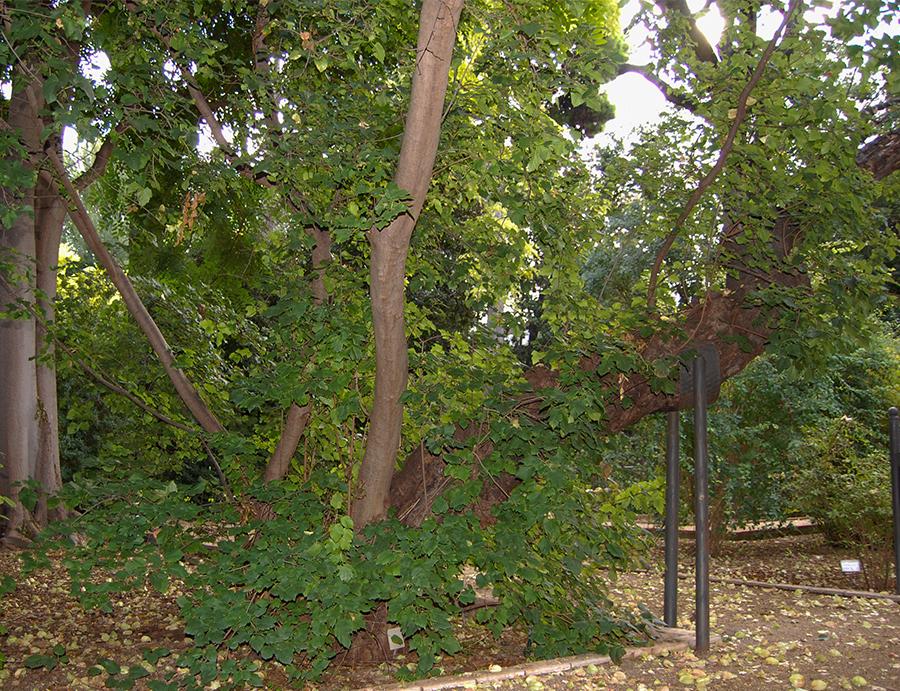 acer tataricum botanic