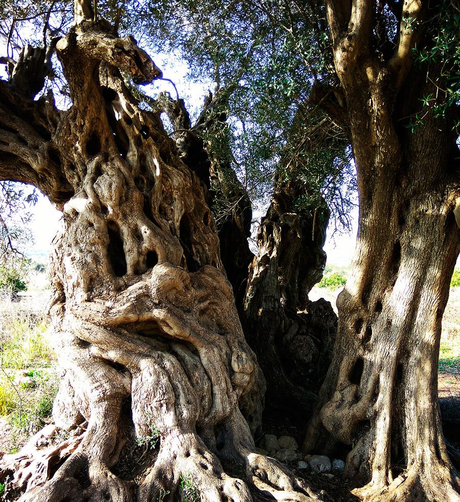 olivera milenaria xabia