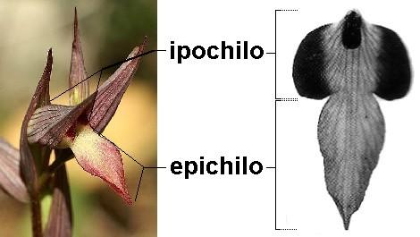 2 Serapias lingua morfologia labello